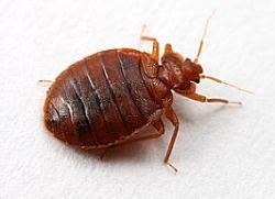 Cimici dei letti cosa sono e come comportarsi for Cimice insetto