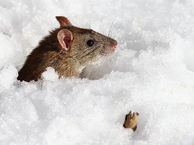Inverno topi pi vicini a casa disinfestazioni e piscine - Come uccidere i topi in casa ...