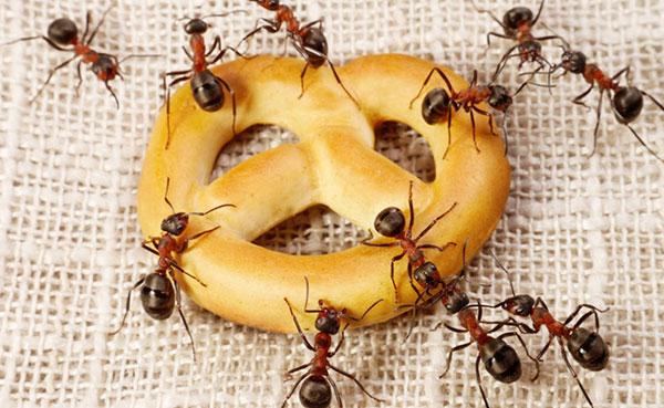 Come eliminare le formiche in casa trucchi e rimedi naturali paradigma - Come debellare le formiche in casa ...