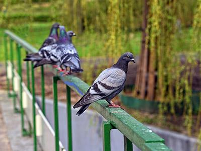 allontanamento-piccioni-imgEV