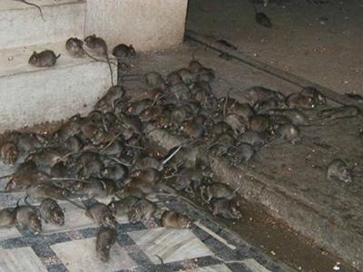 novita-TROPPI-RATTI-NELLE-GRANDI-CITTA